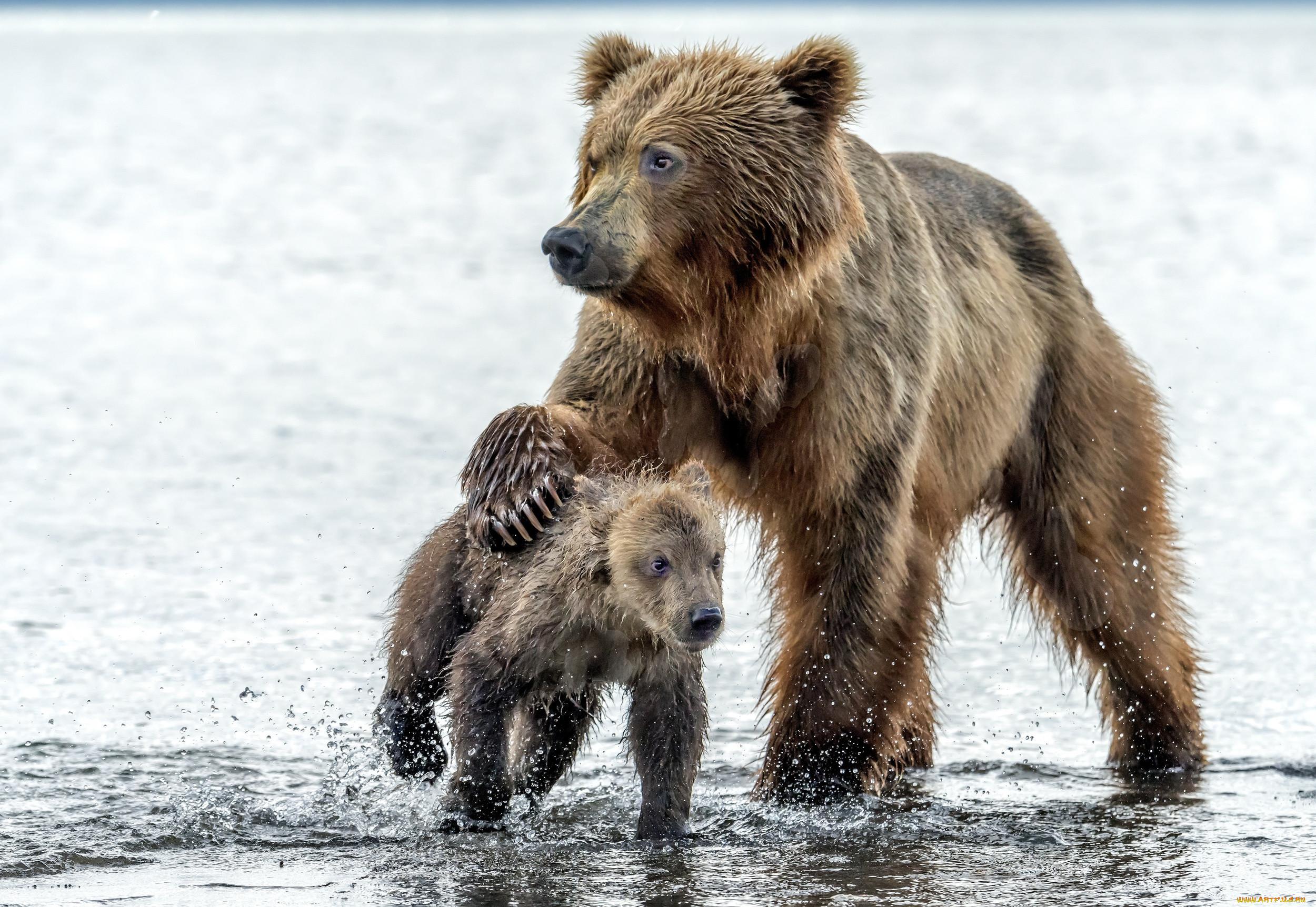 шаговой картинки мокрый медведь может